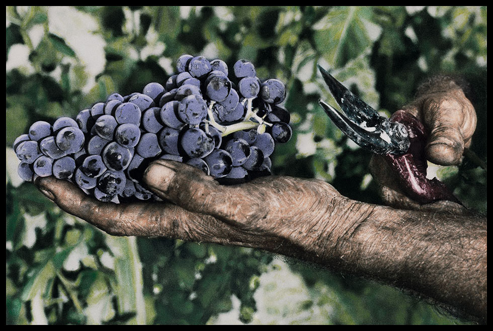 Image of a bunch of red grapes in a harvester's hand